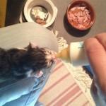 bébé chaton 1 semaine biberon