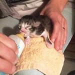 bébé chaton 1 semaine biberon bis