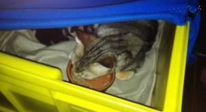 bébé chaton 1 semaine nourriture en livraison