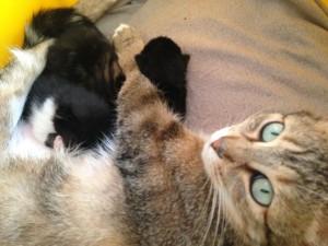 bébé chaton 1 semaine regard chatte