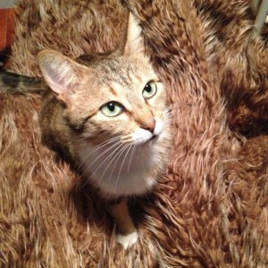 gestation chat femelle fourrure 150225