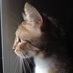 gestation chat femelle regarde fenetre 150217