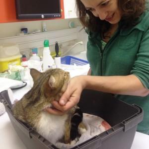 mise bas chat femelle evolution veterinaire - mon-chat-mignon.fr