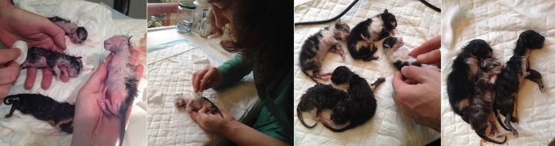 mise bas chat femelle evolution veterinaire cesarienne reveil chatons - mon-chat-mignon.fr