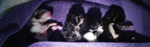 mise bas chat femelle chaton nouveau-né premier cri - mon-chat-mignon.fr