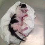 mise bas chat femelle evolution veterinaire chaton mort-né - mon-chat-mignon.fr