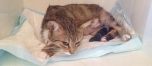 mise bas chat femelle césarienne maman grogy - mon-chat-mignon.fr