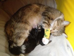 mise bas chat femelle evolution césarienne tétée - mon-chat-mignon.fr