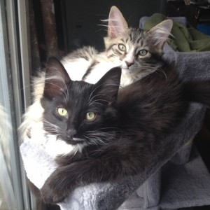 annonce-chaton-a-donner-paris-2-males-chatons-mignons