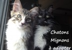 annonce chaton a donner paris 2 males regarde la camera