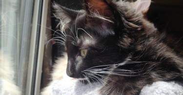 annonce-chaton-a-donner-paris-chaton-mignon-male-noir-blanc