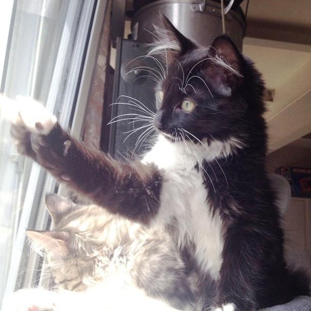 Annonce chaton a donner paris chaton trop mignon male noir blanc mon chat - Photo chaton trop mignon ...